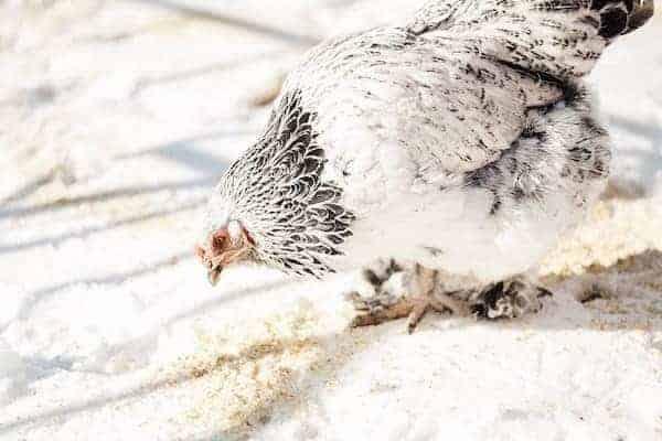 brahma chicken eating grain