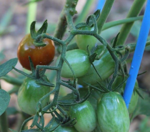 tomato plants growing in garden
