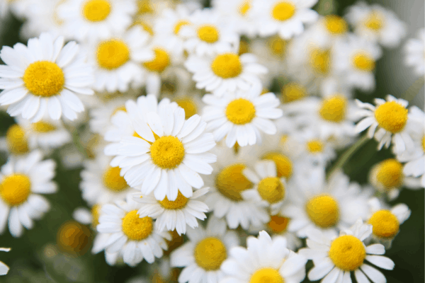 a bunch of chamomile flowers