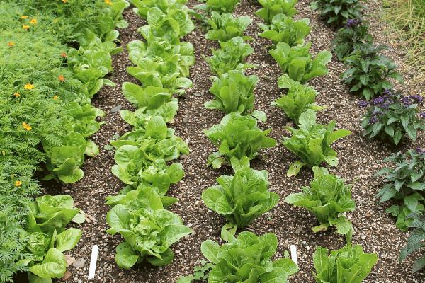 lettuce growing in rows in garden