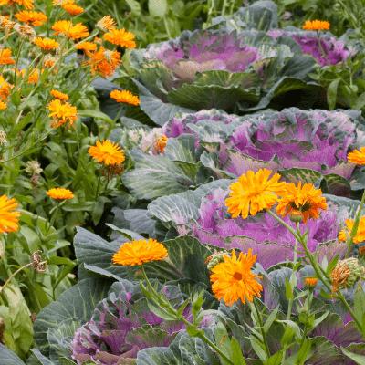 companion planting marigold & cabbage
