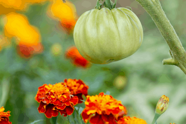 tomatoes growing with marigolds in a garden