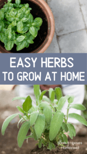 basil and sage herbs in planters