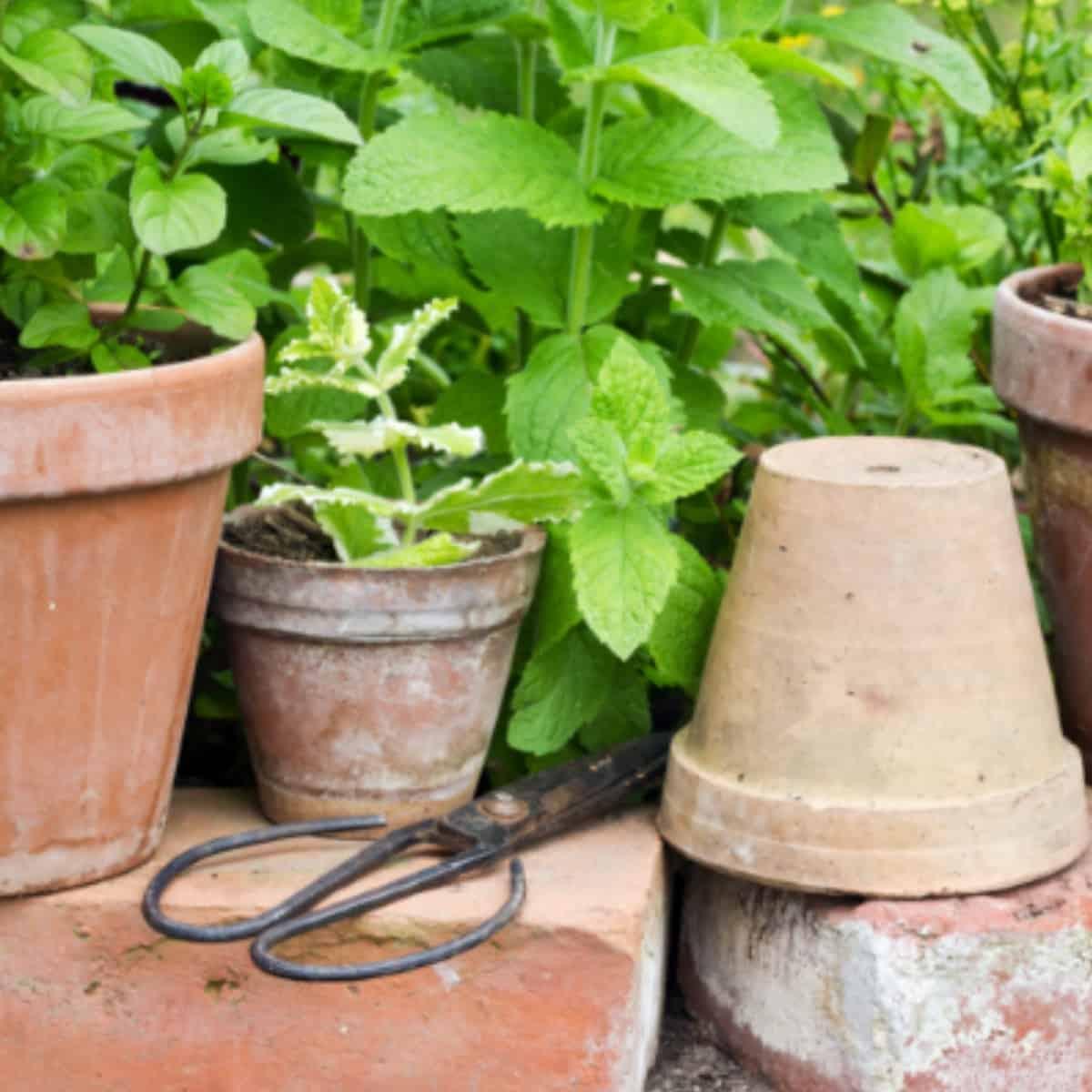 herbs in terra cotta planters