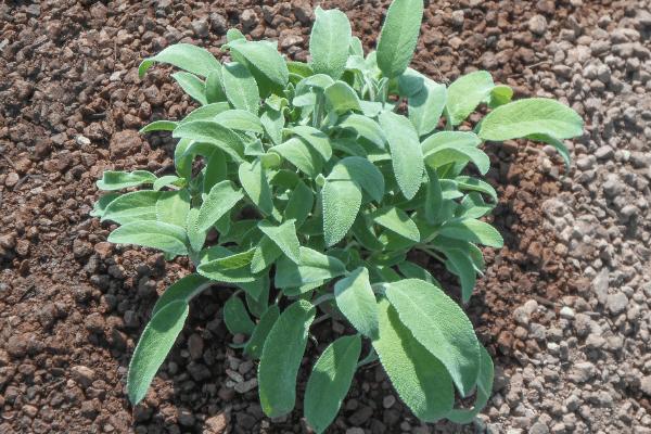 sage plant in the garden