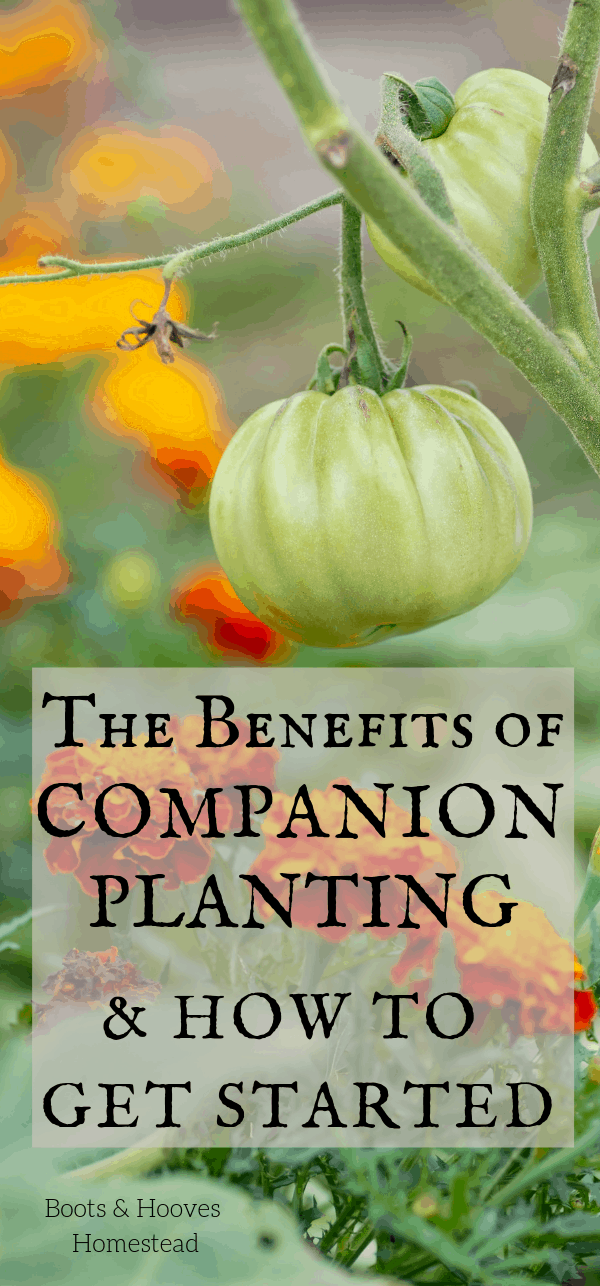 companion planting tomatoes and marigold florals