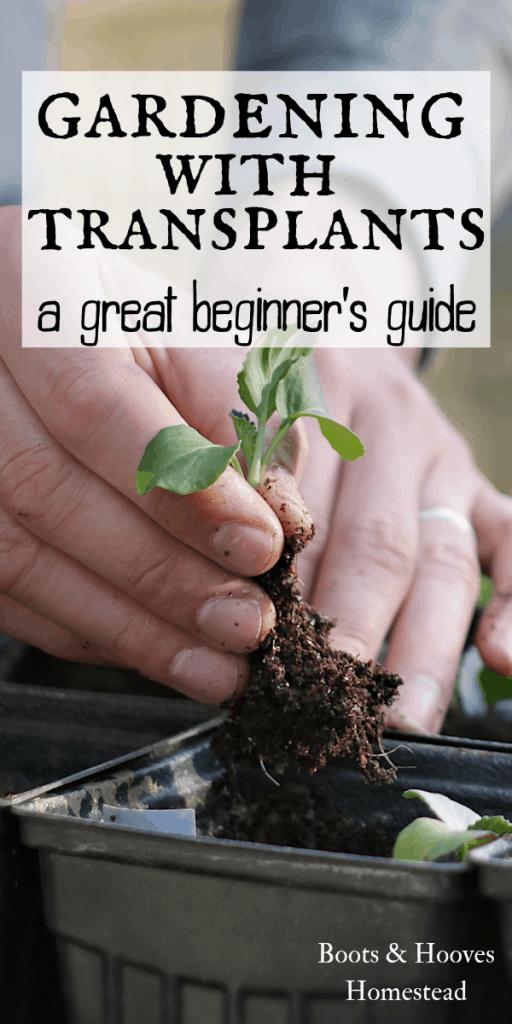 transplanting vegetables