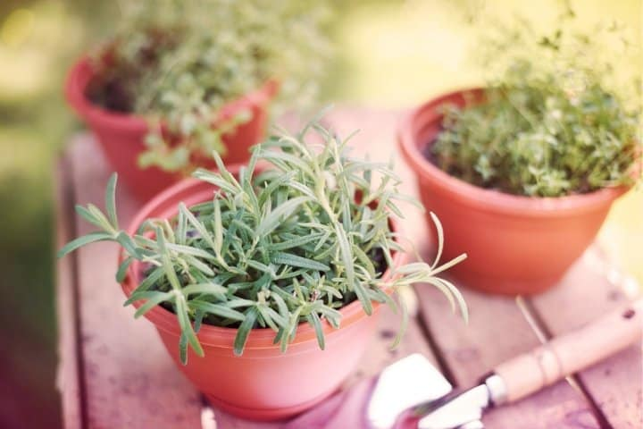 herbs growing in containers