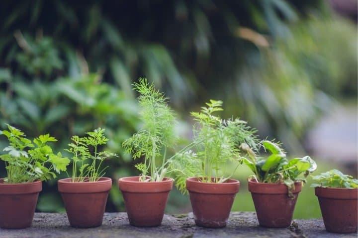 herb garden in mini ceramic planters