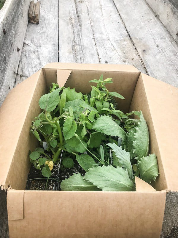 box of garden transplants
