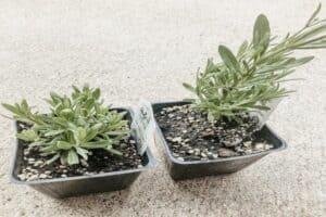 lavender transplants