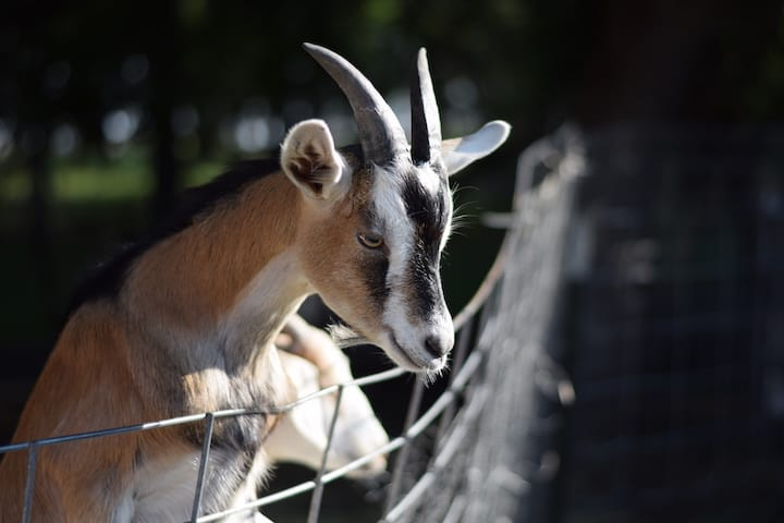 learning how to raise goats and their fencing needs - an alpine goat is trying to climb over the fence