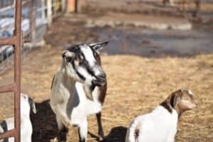 goats in an outdoor pen