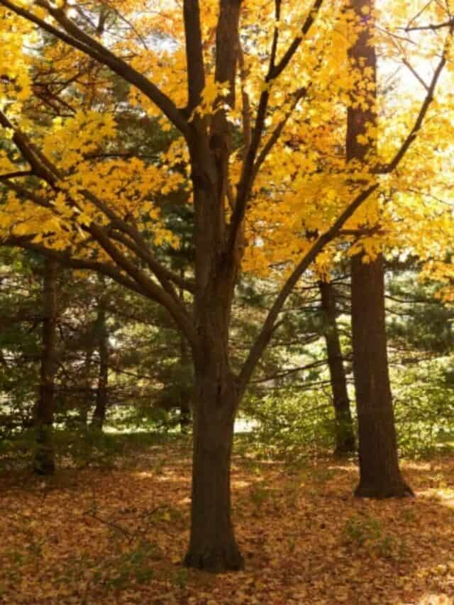 yellow fall colored trees