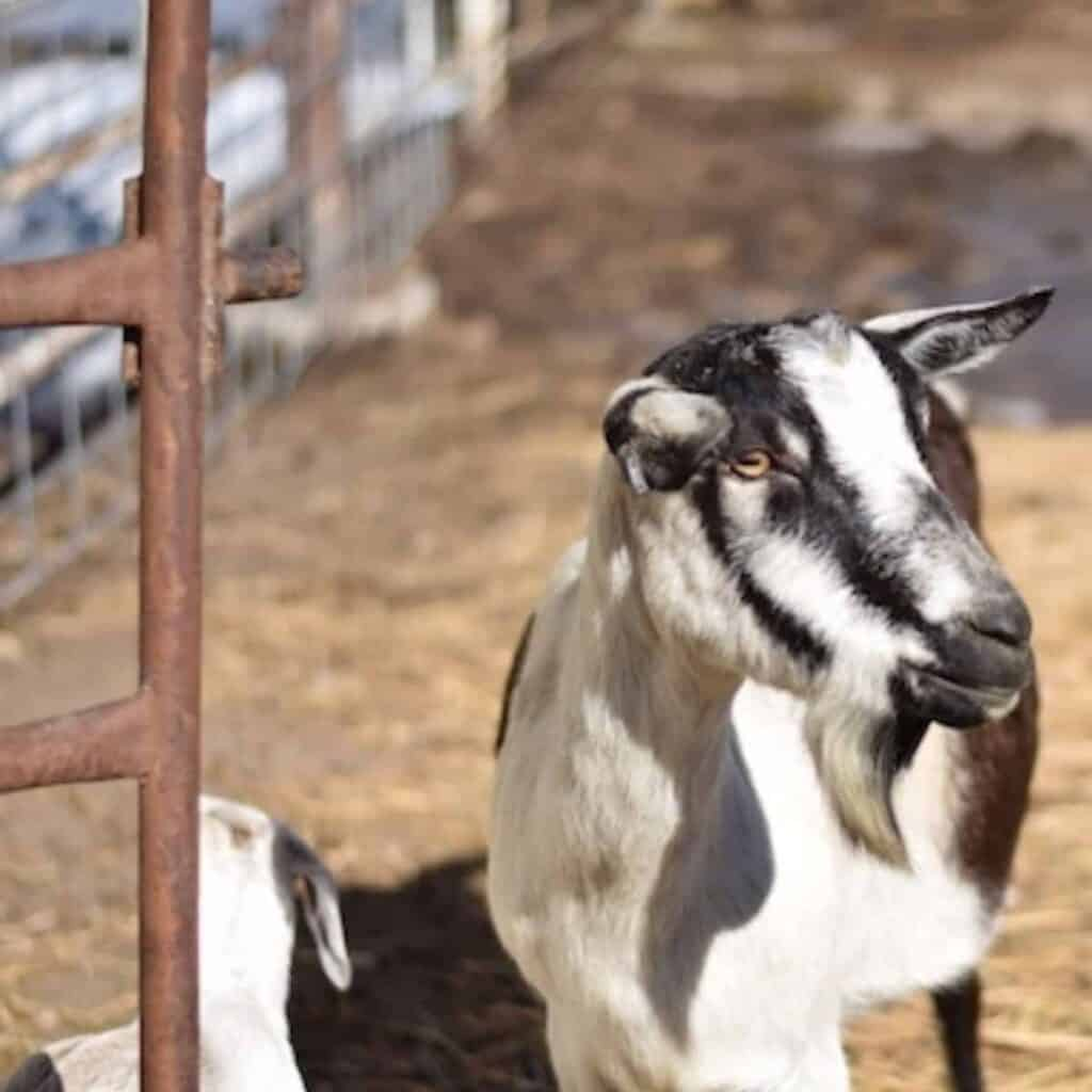 goats in an outdoor pen