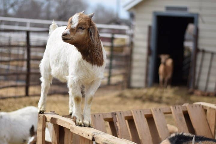 Boer goats standing on a hay feeder