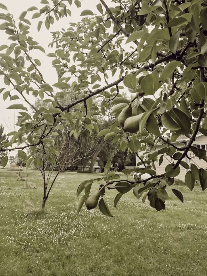 pear tree on the farm