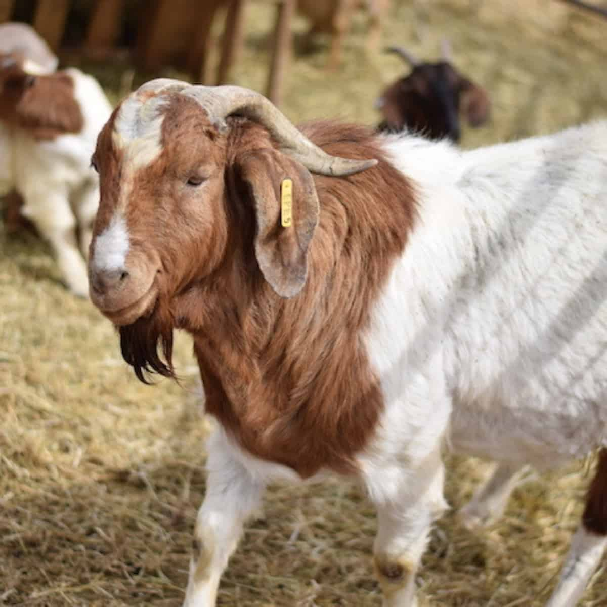 large male Boer goat
