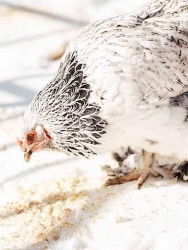 chicken eating grain on snow