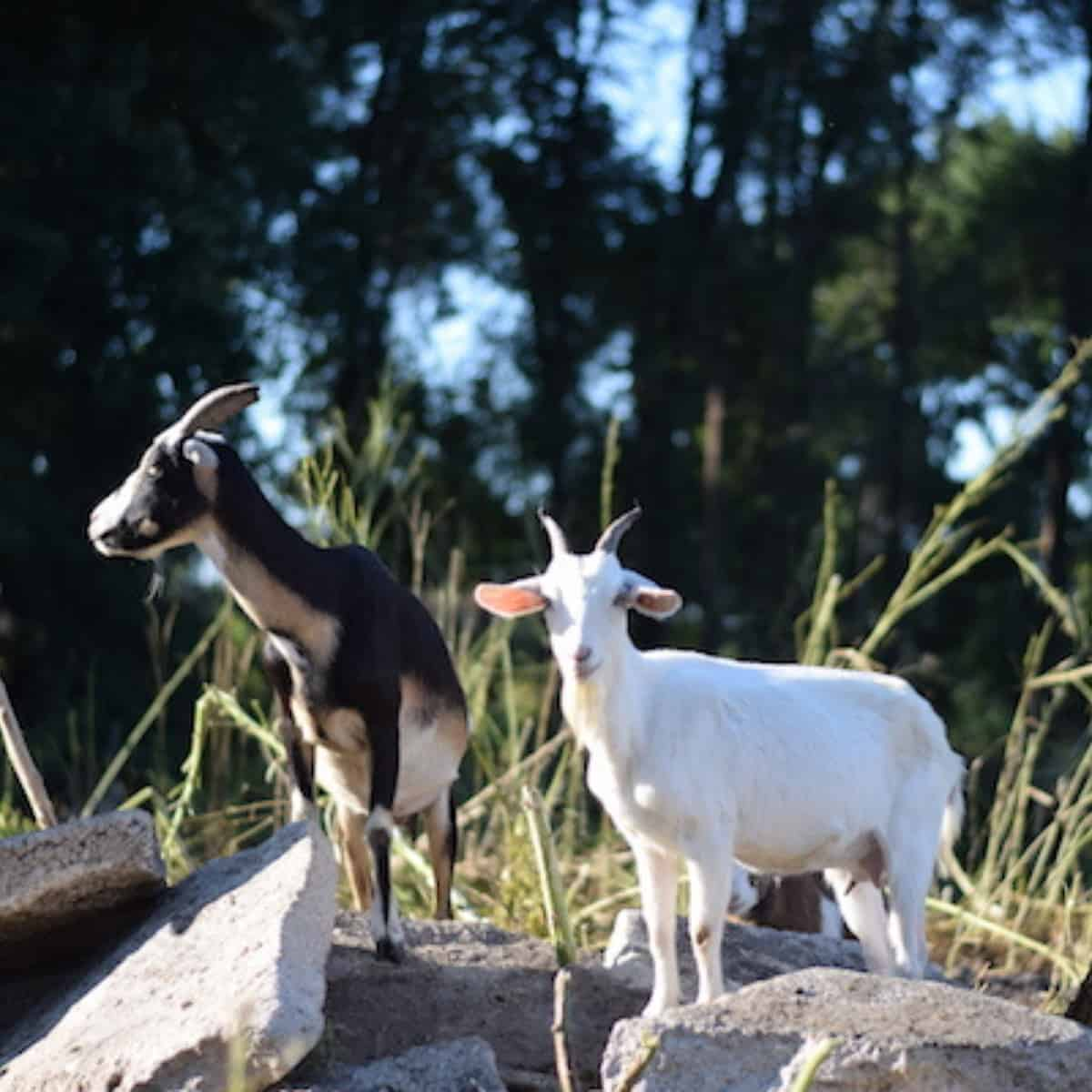 using goats to clear up weeds around the garden