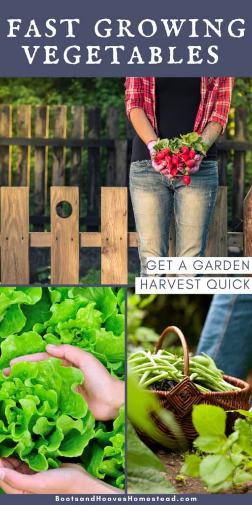 photo collage of 3 fast growing vegetables for the garden