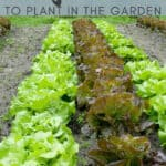 lettuce growing in the garden