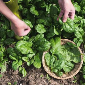 spinach harvesting in garden with a basket