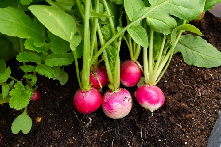 radishes in the garden