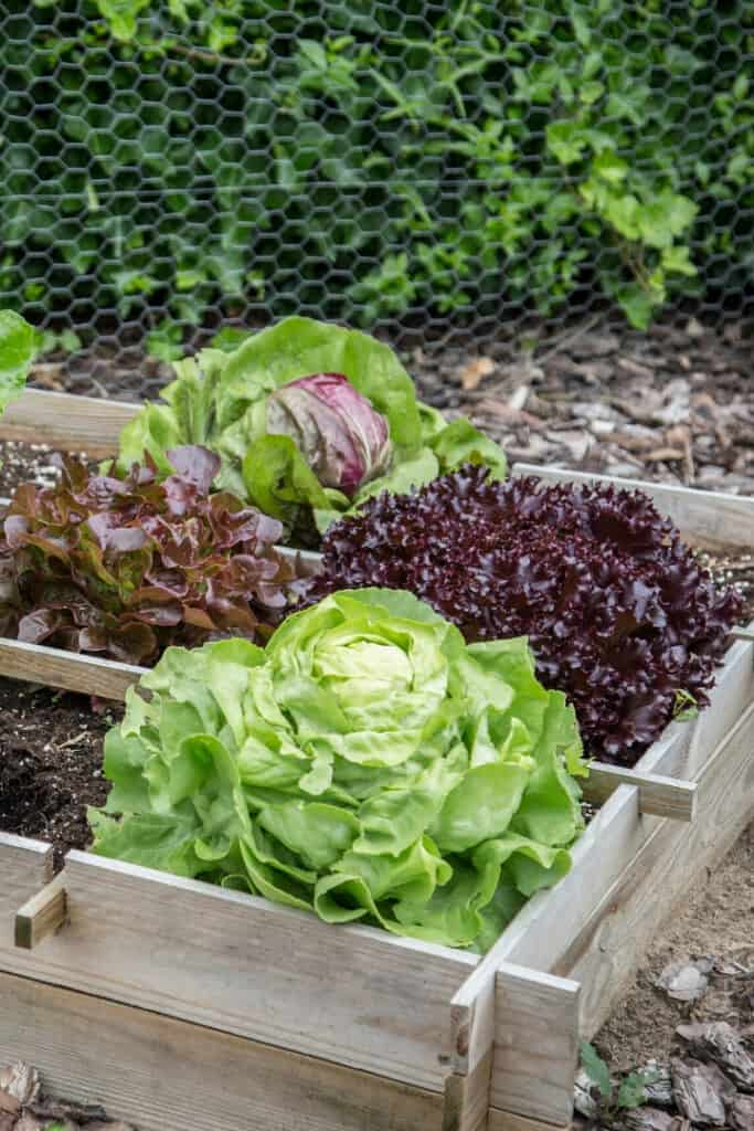 lettuce growing in raised garden bed