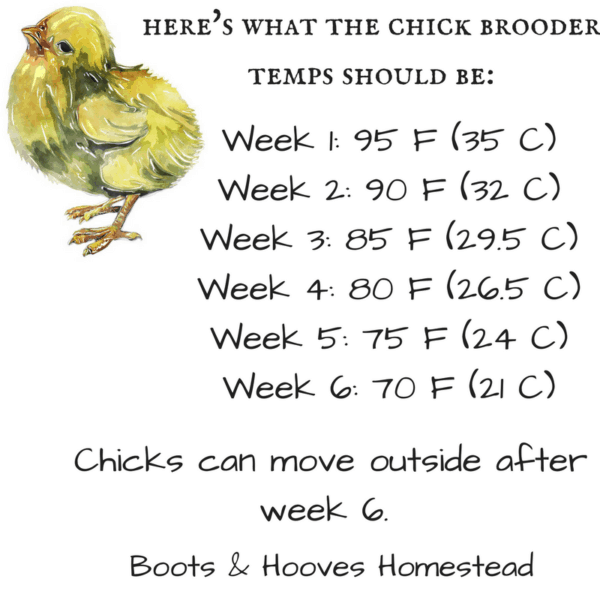 chicken brooder temperature guide