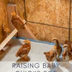 raising baby chicks for beginners in a brooder