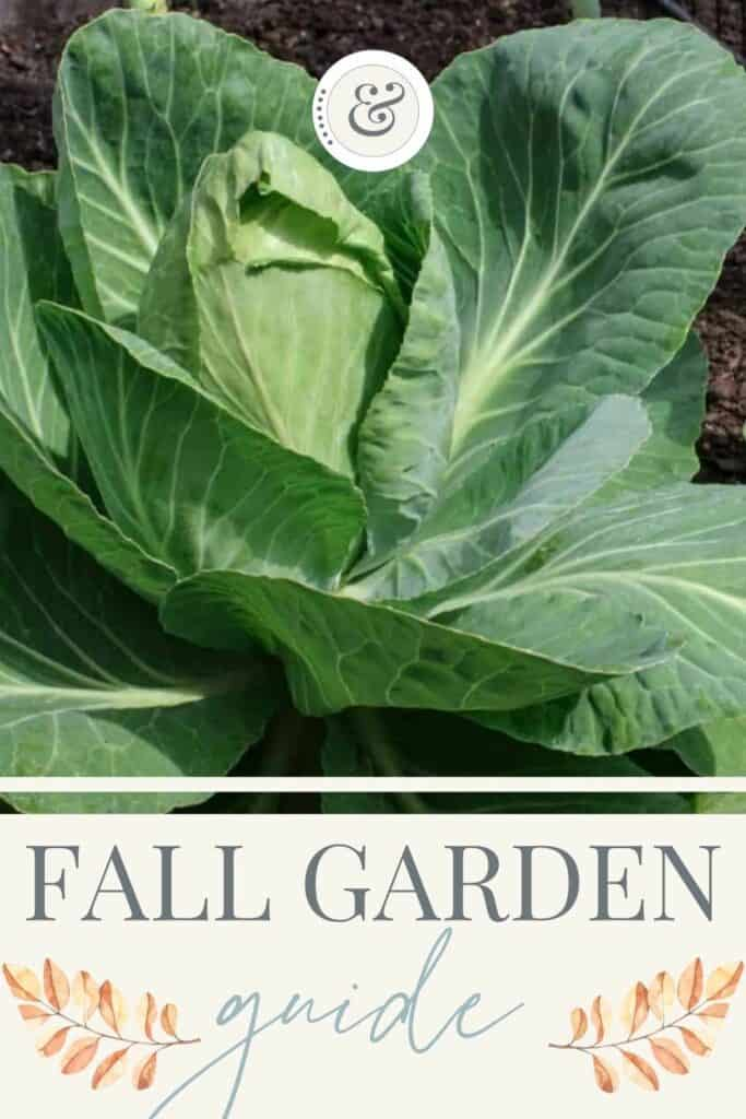 large cabbage growing in the fall garden