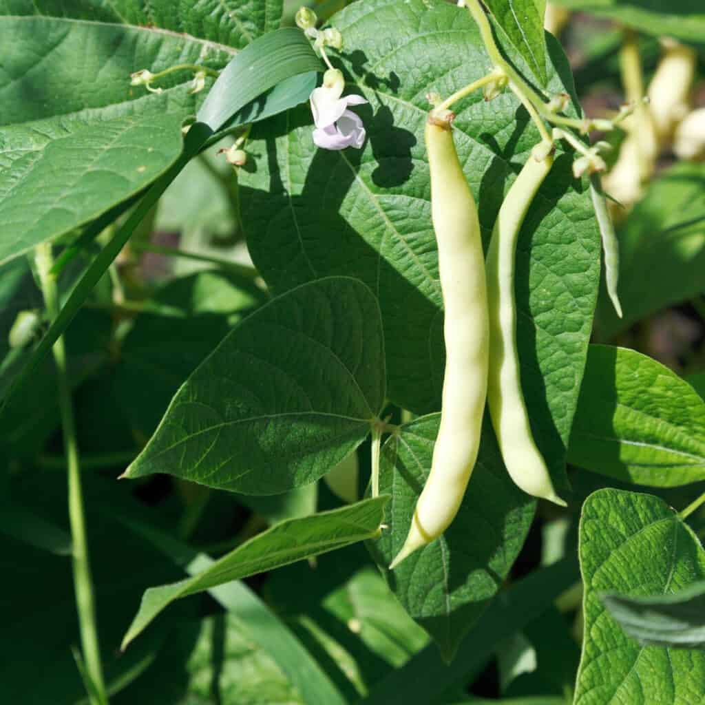 green bean plant in the garden