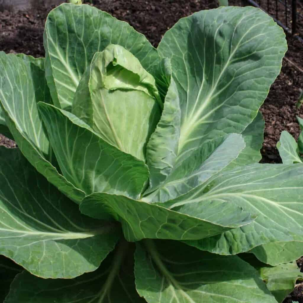cabbage plants growing in the fall garden