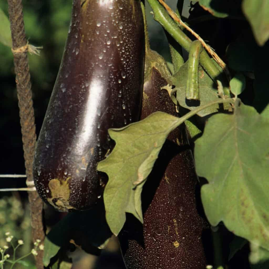 two eggplants growing on plant in garden