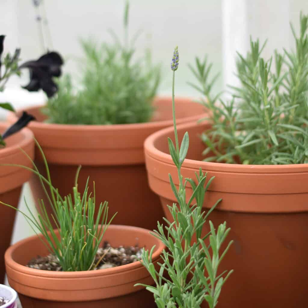 a variety of herbs growing in terra cotta pots