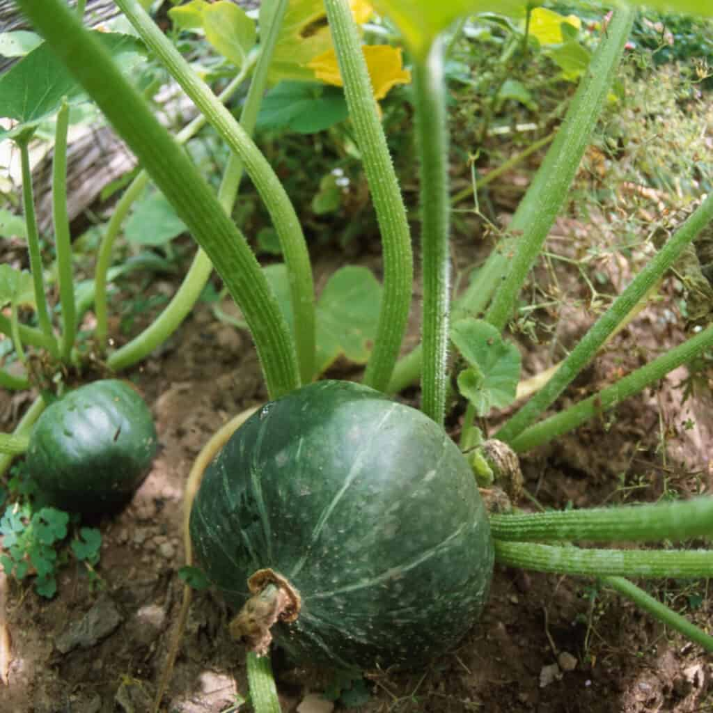 watermelon plant growing
