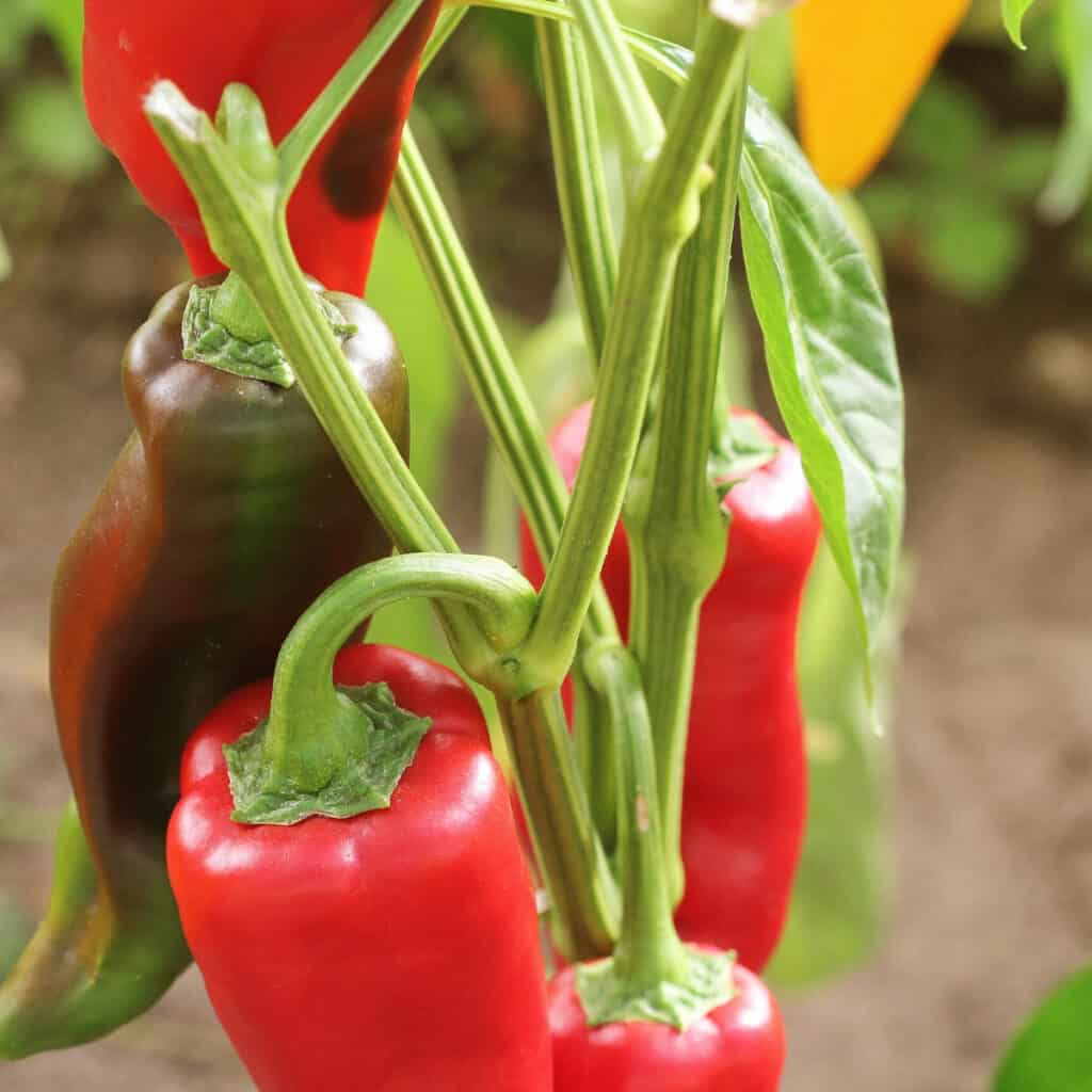green and red hot peppers growing in the garden