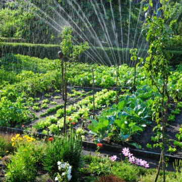 summer garden view with a variety of heat loving plants and sprinkler watering