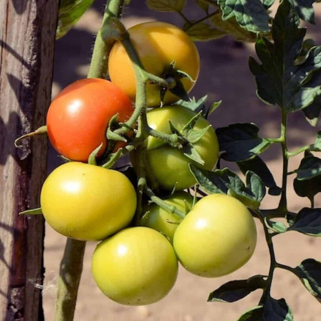 one of the best vegetables to plant in summer is the tomato plant growing with a stake trellis