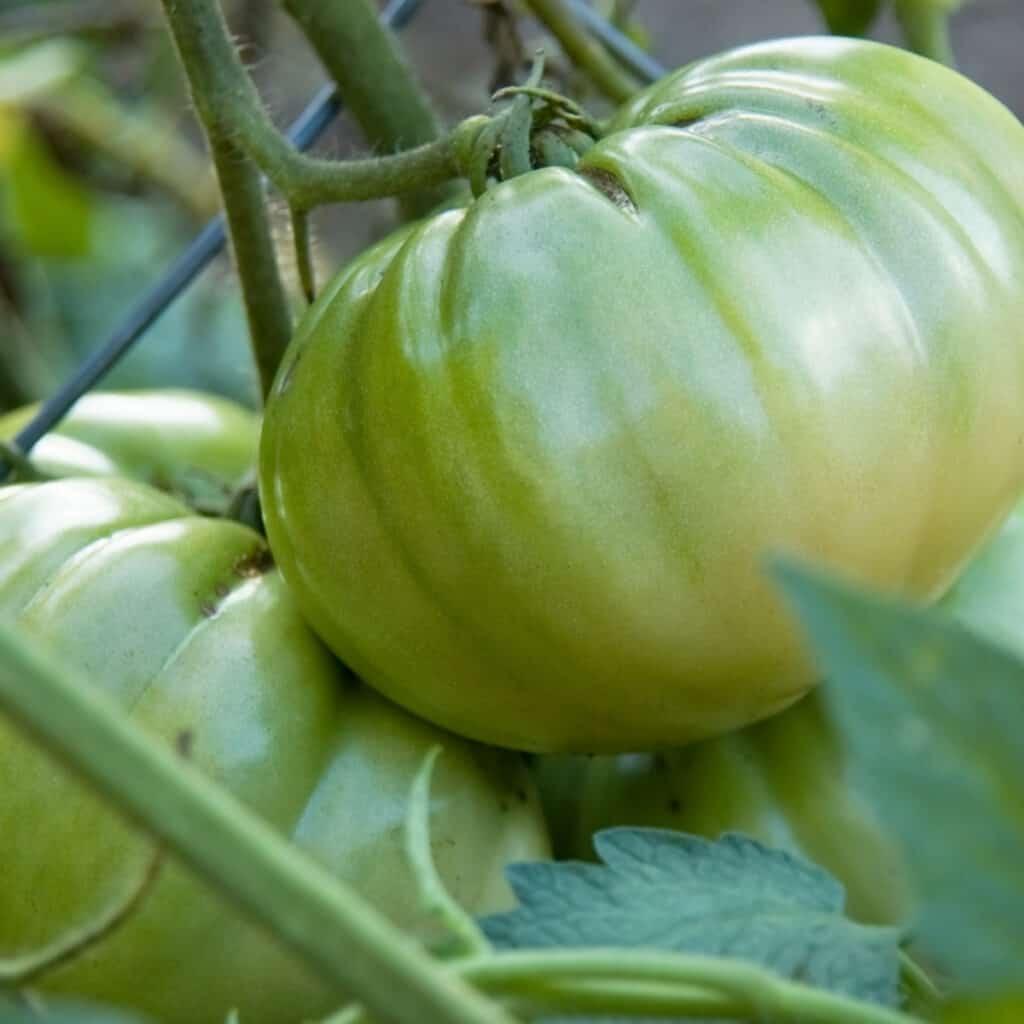 italian heirloom green tomato on the vine
