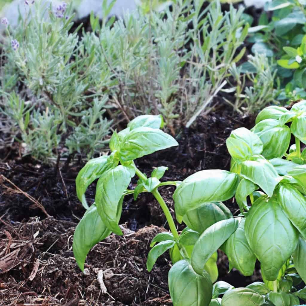 basil herb garden