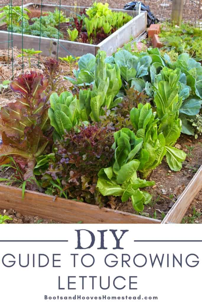 raised garden bed with a variety of lettuces
