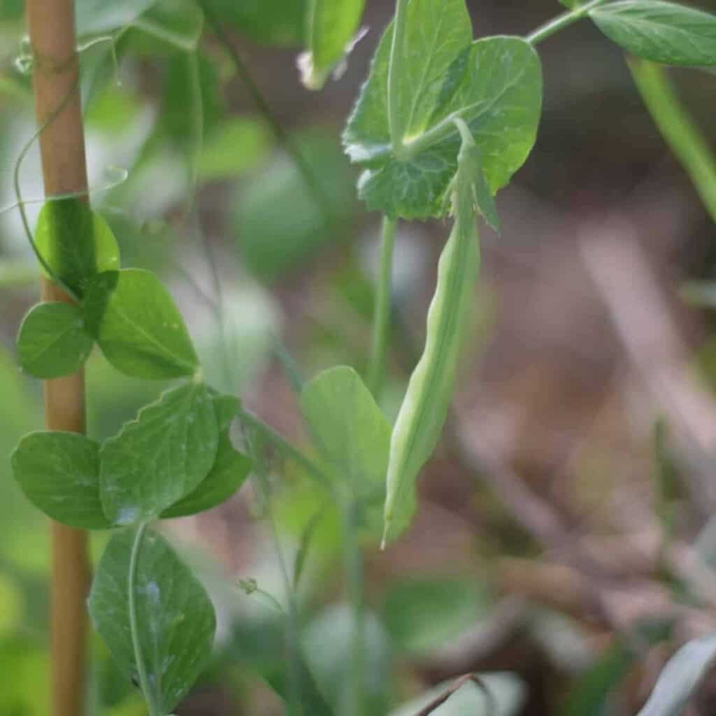garden peas growing in the garden