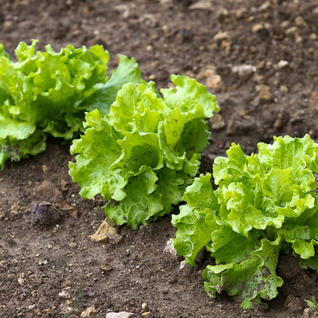 leafy green lettuce growing in the garden
