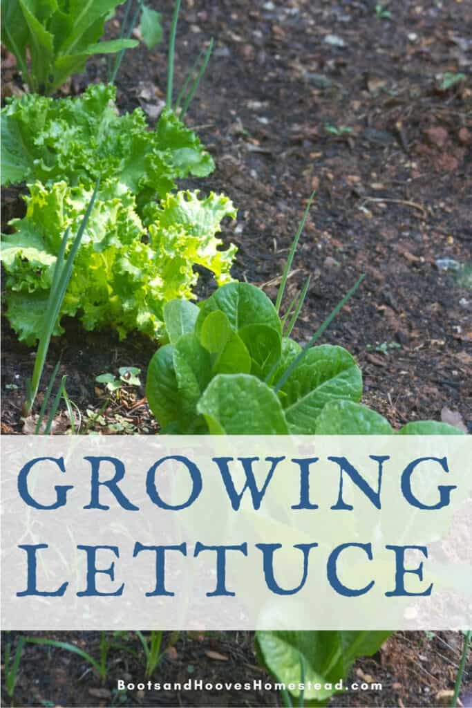 lettuce growing with onions and chives in the home garden