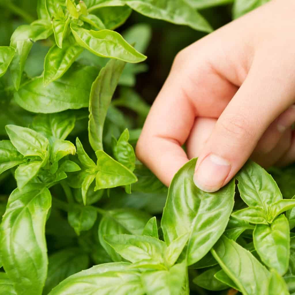 harvesting fresh basil leaves from the kitchen garden