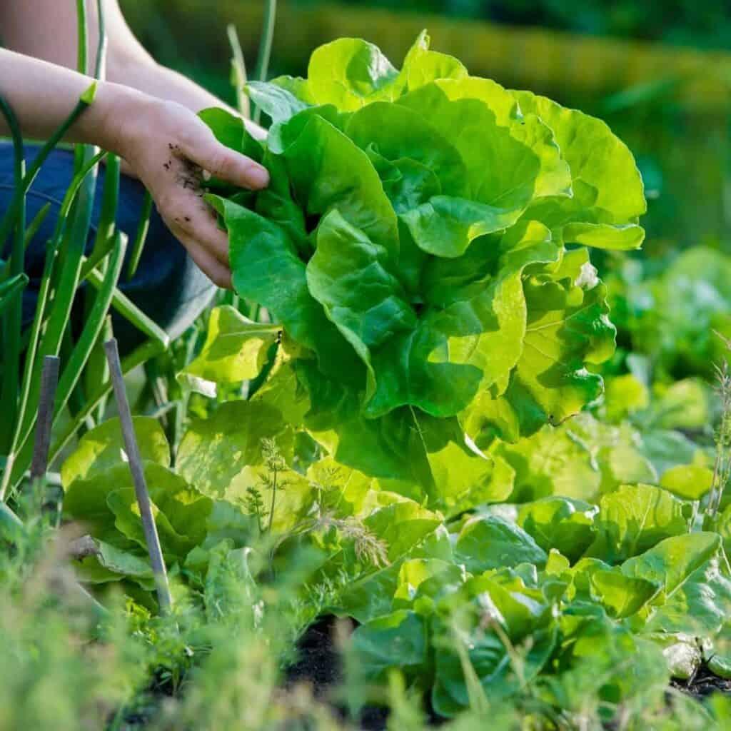 harvesting lettuce from the garden