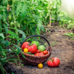 tomatoes on a basket in the garden