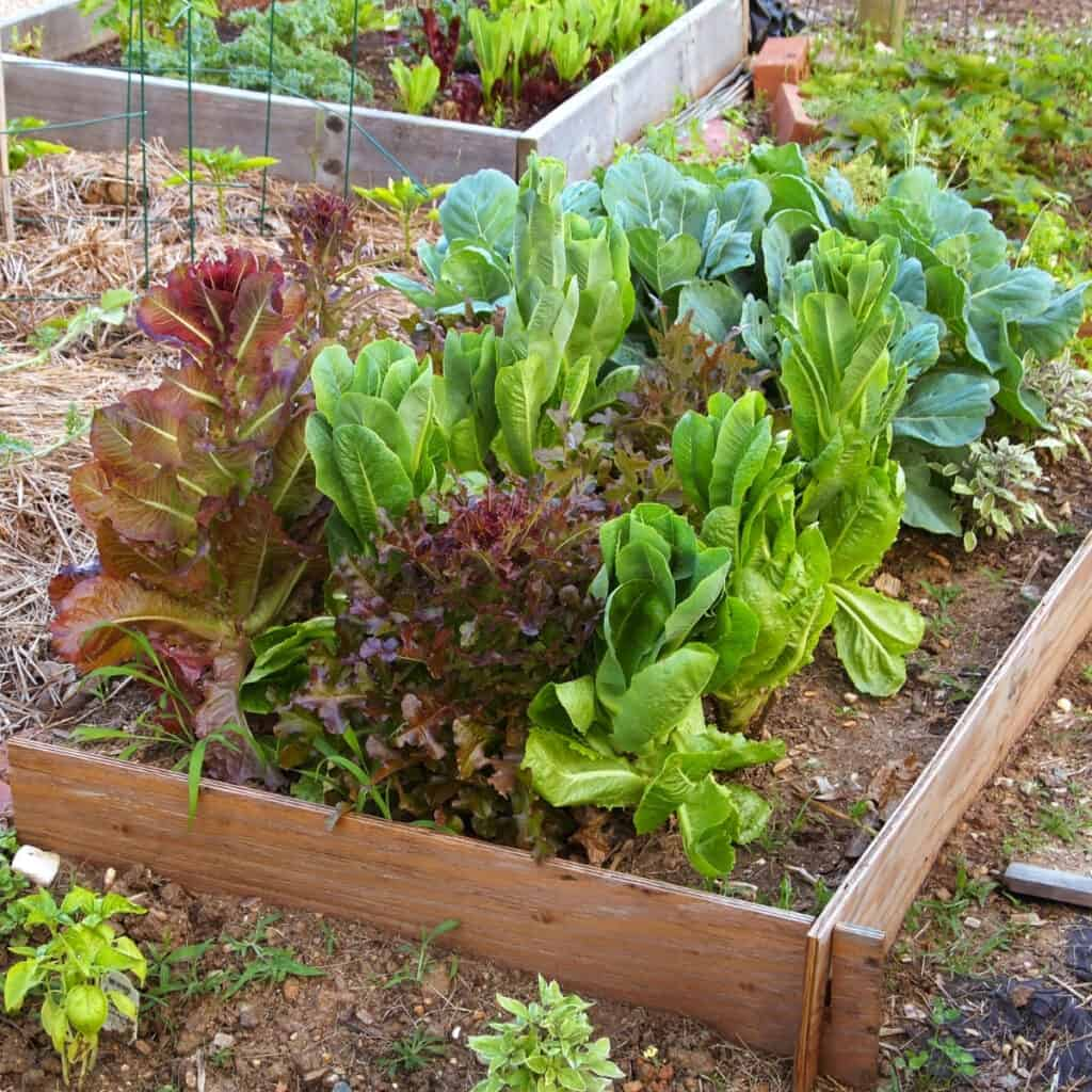 variety of lettuces growing in raised garden bed